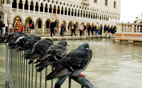 Венеция страдает от голубей