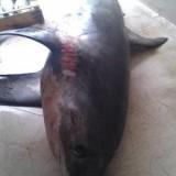 Две акулы-молот были пойманы в заливе Тиквилло