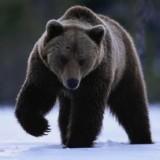Медведи в Альпах пробуждаются от зимней спячки