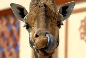 Биопарк в Риме: «Его высочество жираф»