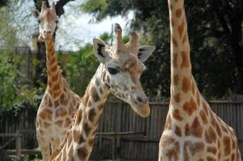 Биопарк в Риме: Жирафы