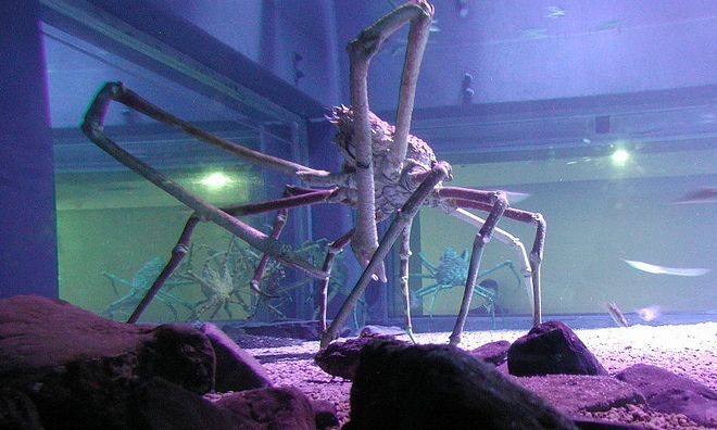 Spider crab at the Kaiyukan Aquarium in Osaka, Japan