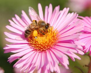 Ботанический сад Пизы. Пчела на цветке