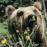 Медведь М 13 теперь вне закона