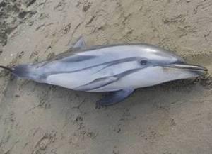 В Италии умирают дельфины