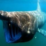 Гигантская акула-слон у Итальянской Ривьеры