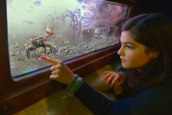 Краб-скрипач в аквариуме Гардаленда